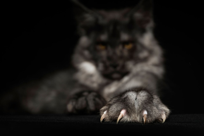 maine-coon-3 (700x466, 101Kb)