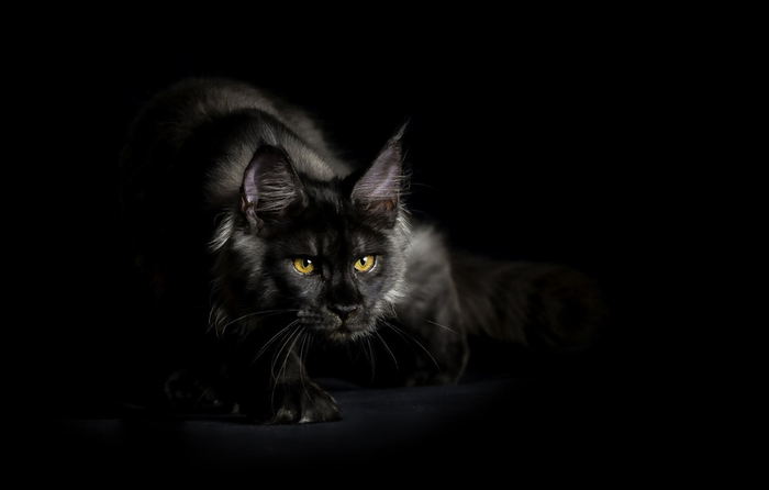 maine-coon-6 (700x446, 64Kb)