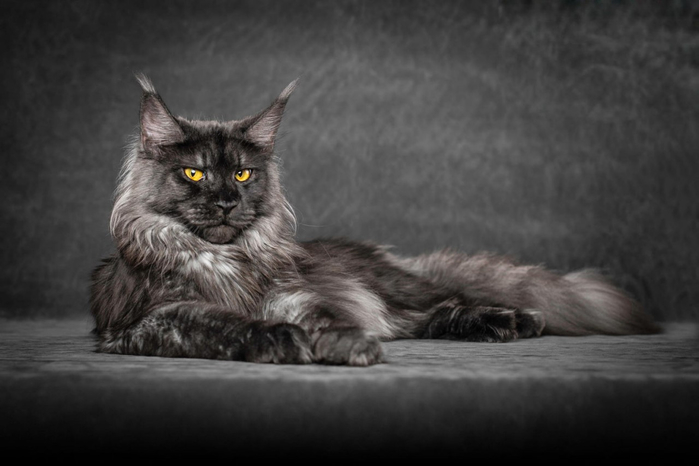 maine-coon-13 (700x466, 159Kb)