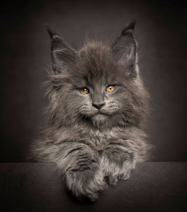 maine-coon-19 (616x700, 232Kb)