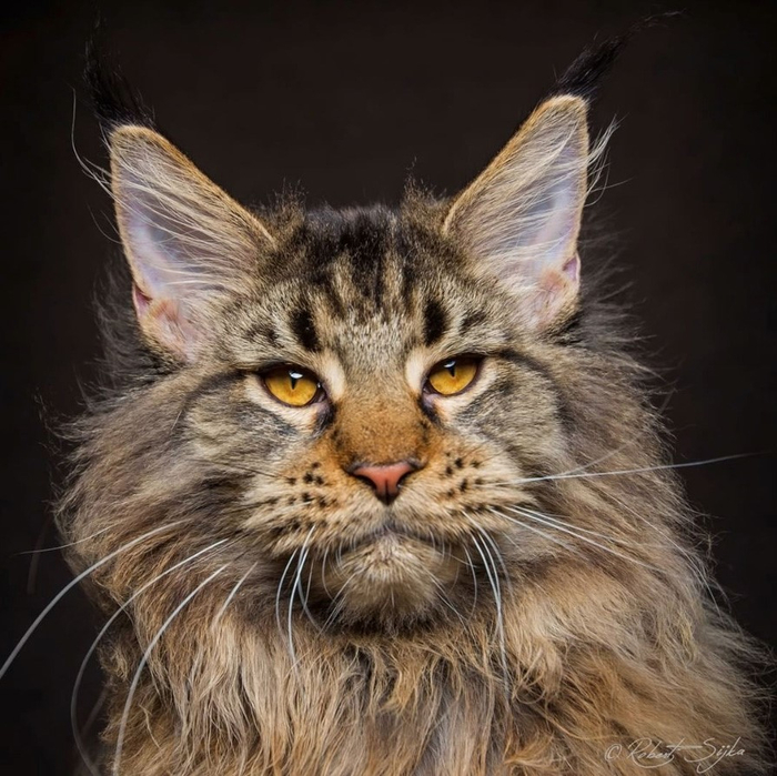 maine-coon-24 (700x699, 418Kb)
