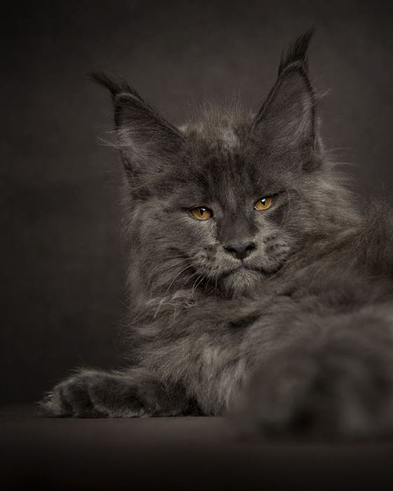 maine-coon-21 (560x700, 181Kb)