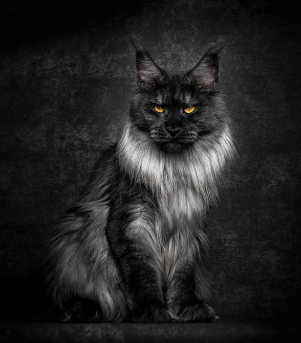 maine-coon-25 (616x700, 230Kb)