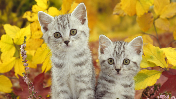 Cats-Kittens-Wallpaper-1024x576 (700x393, 63Kb)