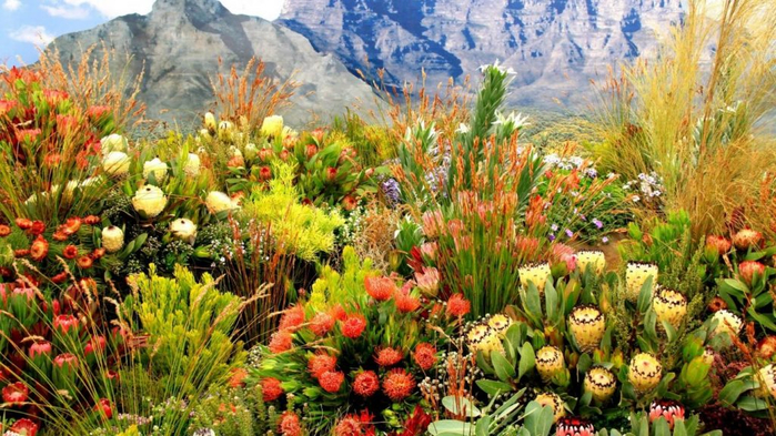 mountain-cape-spring-flowers-fields-grass-town-proteas-mountains-fynbos-plants-south-africa-desktop-wallpaper-hd-1366x768-1024x576 (700x393, 450Kb)