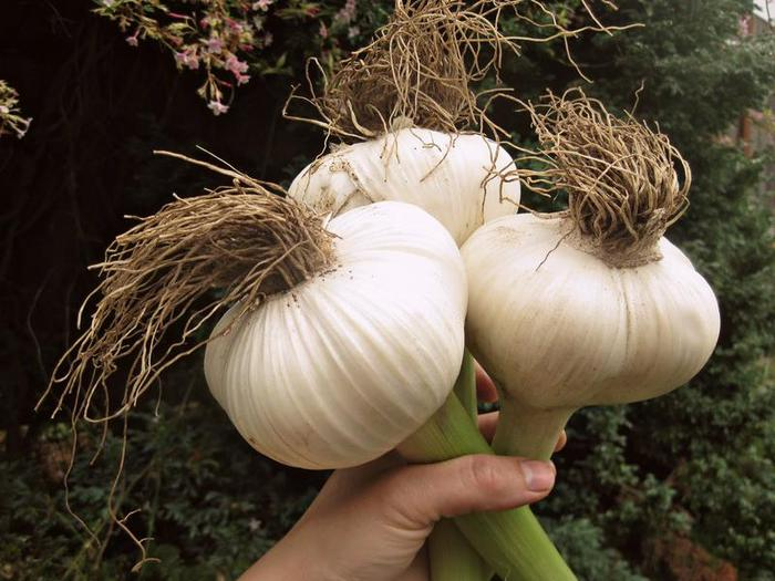 5177462_Elephant_Garlic_heads (700x525, 62Kb)