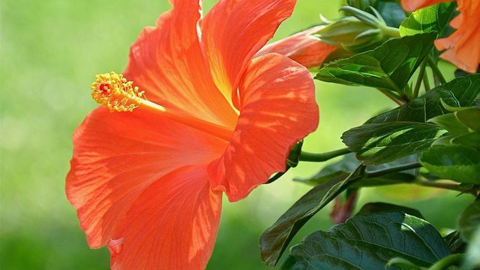 orange-hibiscus-wide-wallpaper-18012 (700x393, 45Kb)