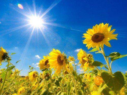 sun-and-sunflowers-500x375 (500x375, 46Kb)