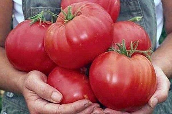 помидоры1 (604x401, 47Kb)