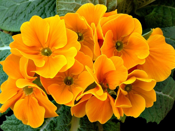 primula_aka_1_wallpapersuggest_com-800x600 (700x525, 431Kb)