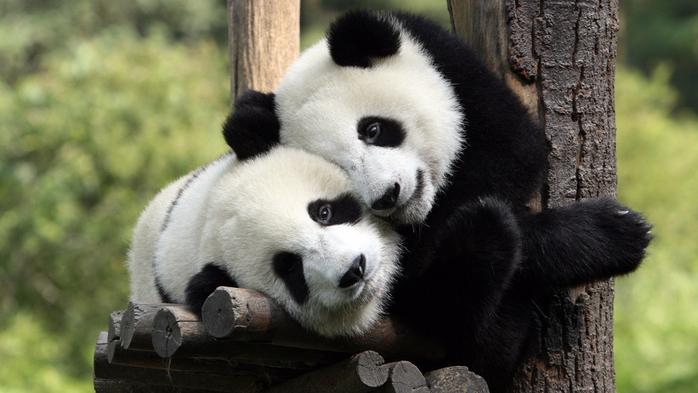 панды обнимашки (700x393, 315Kb)
