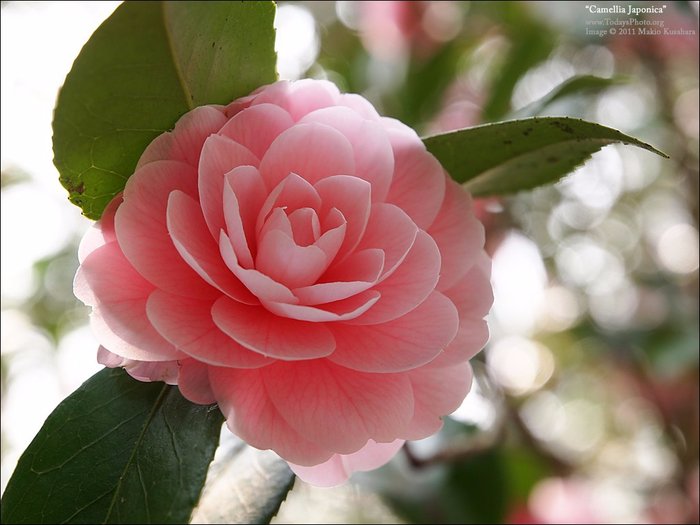 camellia-japonica (700x525, 321Kb)