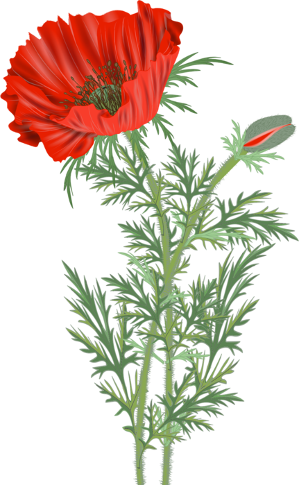 2316 poppies21142330 (431x700, 342Kb)