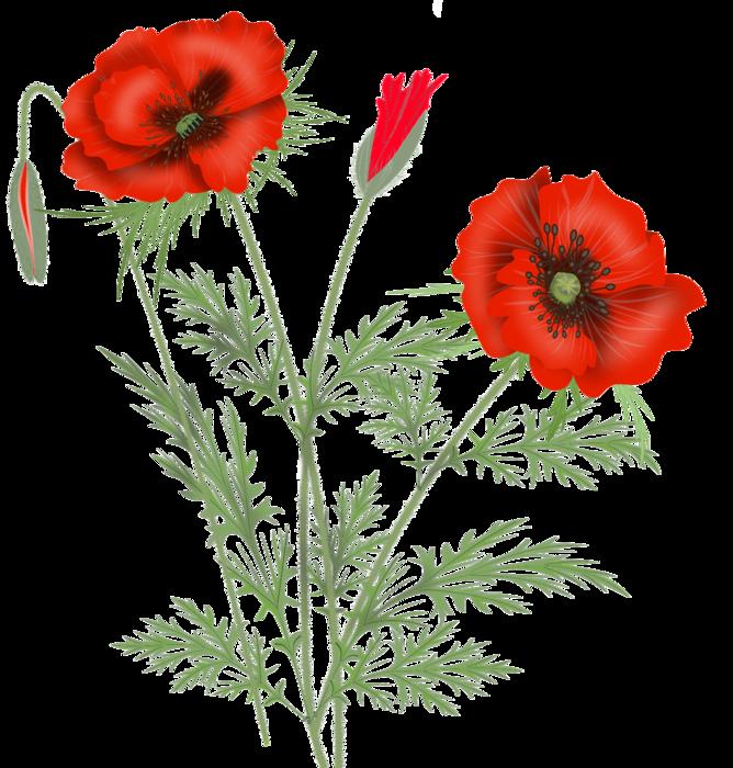 2312 poppies21142330 (668x700, 510Kb)