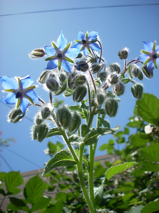 Blue_borage_flowers_2526205868_6b35bbac29_b (525x700, 213Kb)