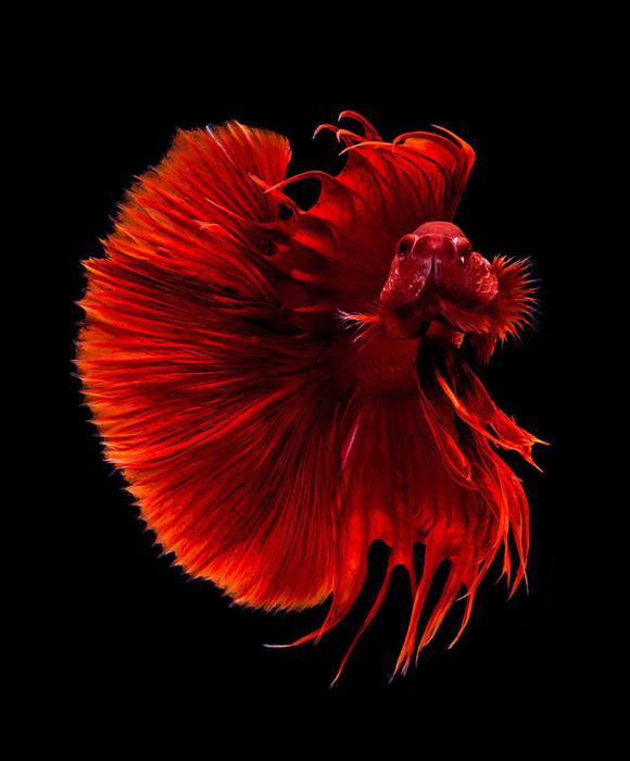 visarute-angkatavanich-goldfish-03 (580x700, 301Kb)