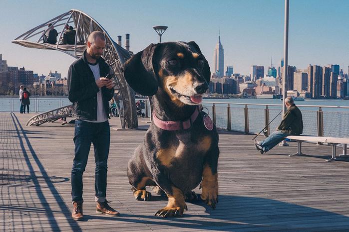 mitch-boyer-vivian-the-giant-wiener-dog-etoday-03 (700x466, 428Kb)