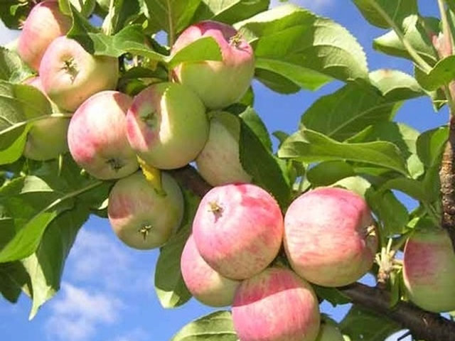 Урожай-яблок (640x480, 211Kb)