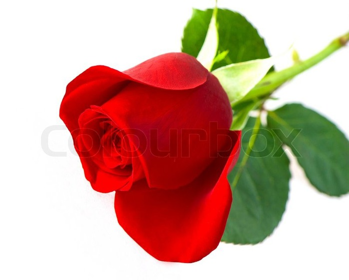 роза моя/5186405_1630190singleredroseflowerisolatedonwhitebackground (700x561, 47Kb)