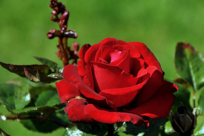 Roses_Closeup_Wine_color_462414 (700x466, 79Kb)