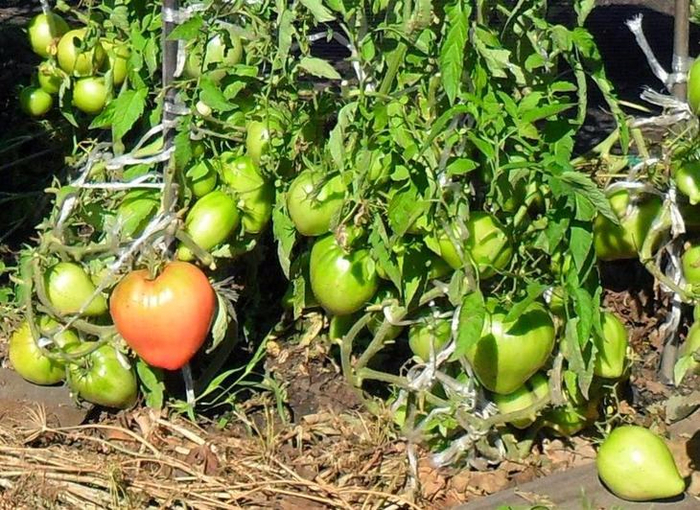 Выращивание помидоров по два корня в лунке2 (700x510, 511Kb)