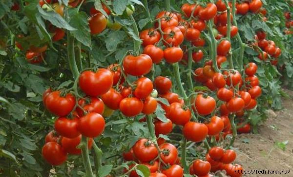3925311_pomidori_yrojai_podkormka (600x364, 193Kb)
