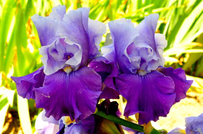 iris (700x464, 437Kb)