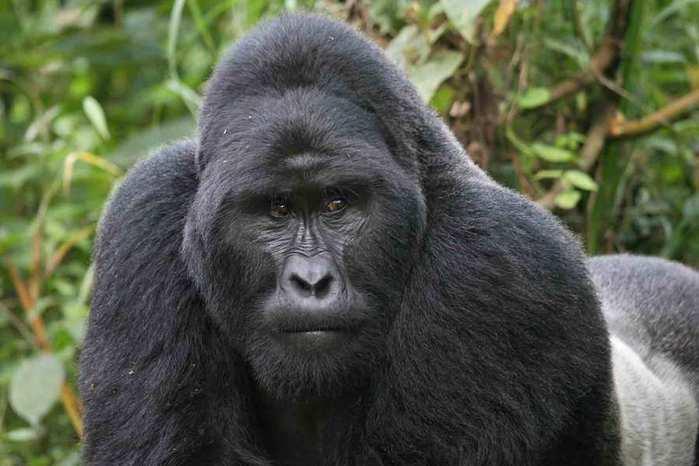 2012-08-18-GorillaSilverback6 (700x466, 35Kb)