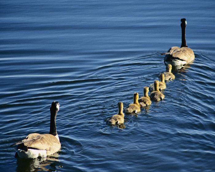 Family_Wild_Geese (700x560, 159Kb)
