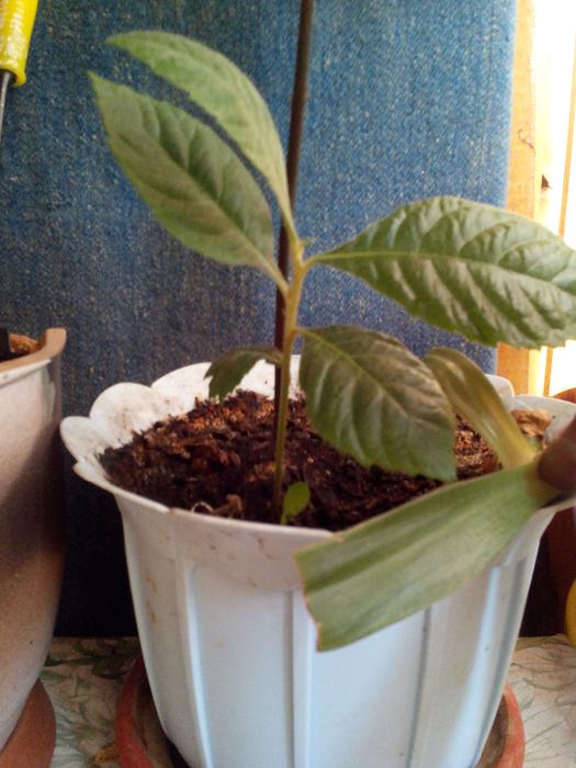 Как вырастить мушмулу из косточки в домашних условиях