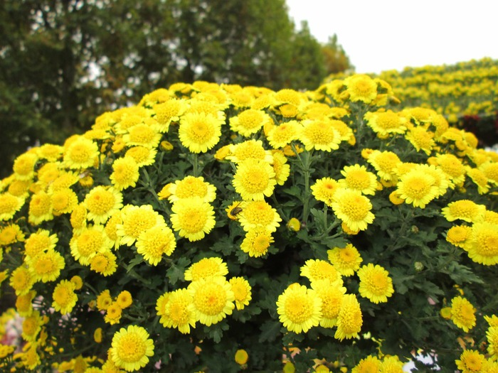 chrysanthemum-208185_960_720 (700x525, 136Kb)