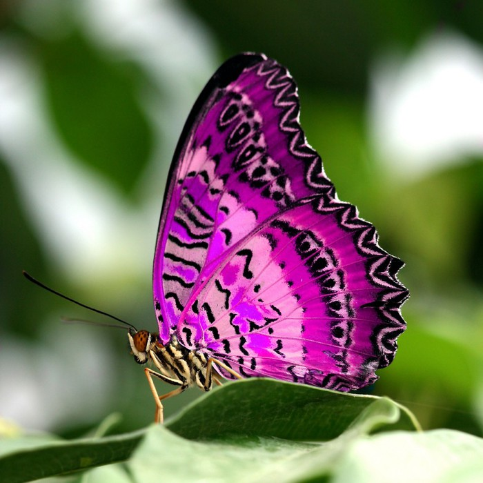 vlinder-paars-1024x1024 (700x700, 102Kb)