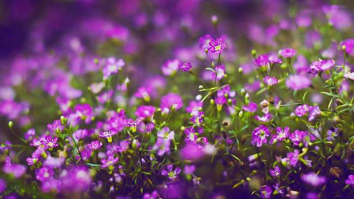 beautiful-and-wonderful-lavender-flowers-wallpapers (700x393, 41Kb)