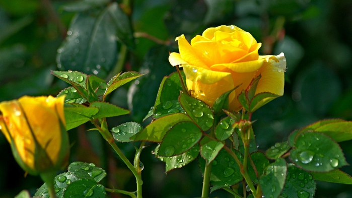 Yellow_rose-Flower_photography_wallpaper_1366x768 (700x393, 295Kb)