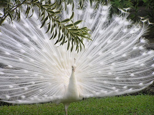 птицы белая ПАВА (500x374, 236Kb)