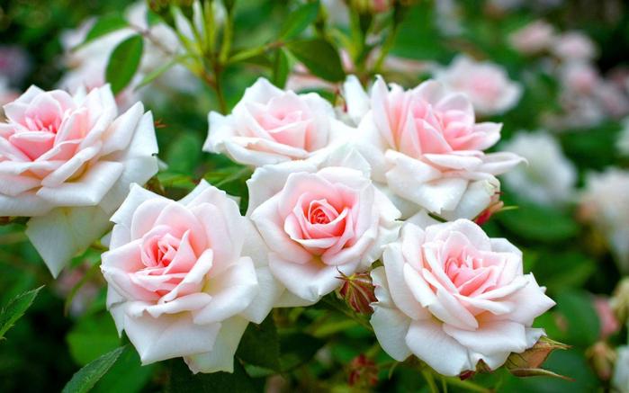 130364445_kartinki24_ru_roses_170[1] (699x437, 357Kb)