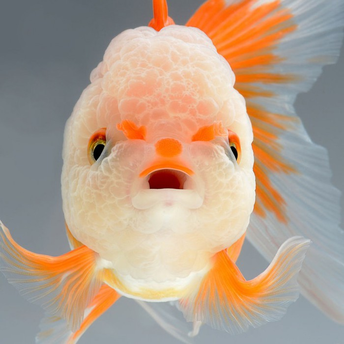 visarute-angkatavanich-goldfish-011 (700x700, 68Kb)