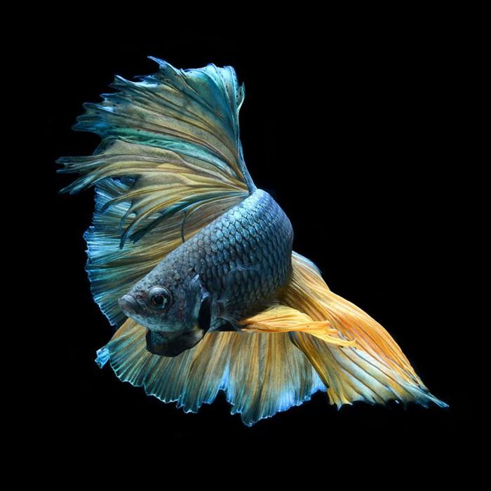 visarute-angkatavanich-goldfish-02 (700x700, 73Kb)