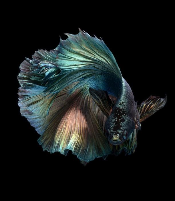 visarute-angkatavanich-goldfish-06 (612x700, 66Kb)