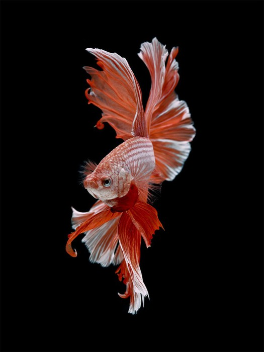 visarute-angkatavanich-goldfish-09 (525x700, 39Kb)