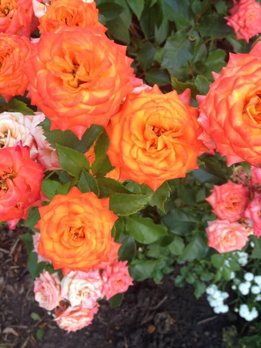 розы (525x700, 487Kb)