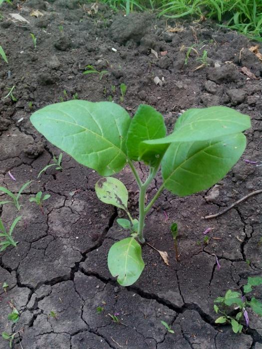 растение табак курительный/683232_tabak (525x700, 337Kb)
