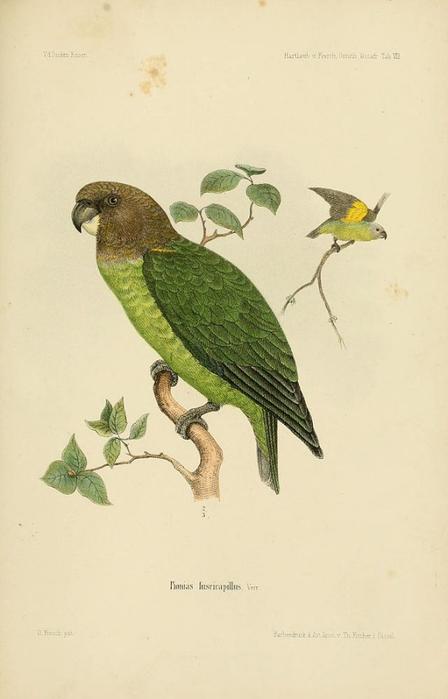 PioniasFuscicapillus (448x700, 173Kb)