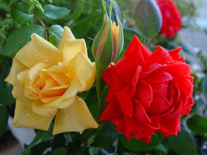 roses-flowers-buds-drops-close-up-shrub (700x525, 141Kb)