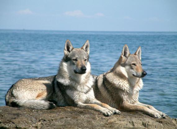 волки (570x418, 44Kb)