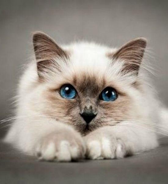 Рэгдолл. Кукольная кошка