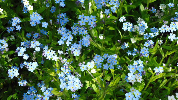 Nature___Flowers_Fabulous_beautiful_flowers_forget-me-_066018_ (700x393, 138Kb)