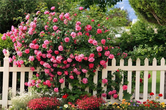 pletict_rose (700x467, 100Kb)