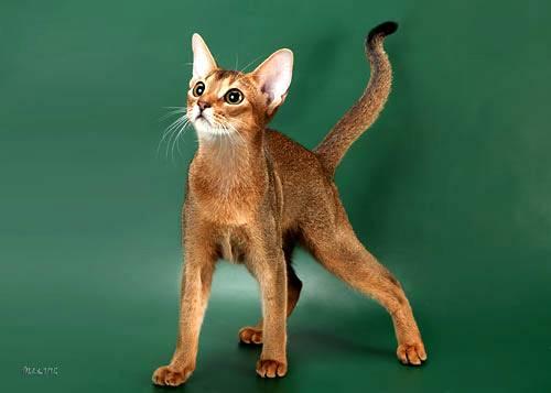 Абиссинская кошка/4645991_01 (500x357, 15Kb)