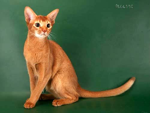 Абиссинская кошка/4645991_03 (500x375, 14Kb)